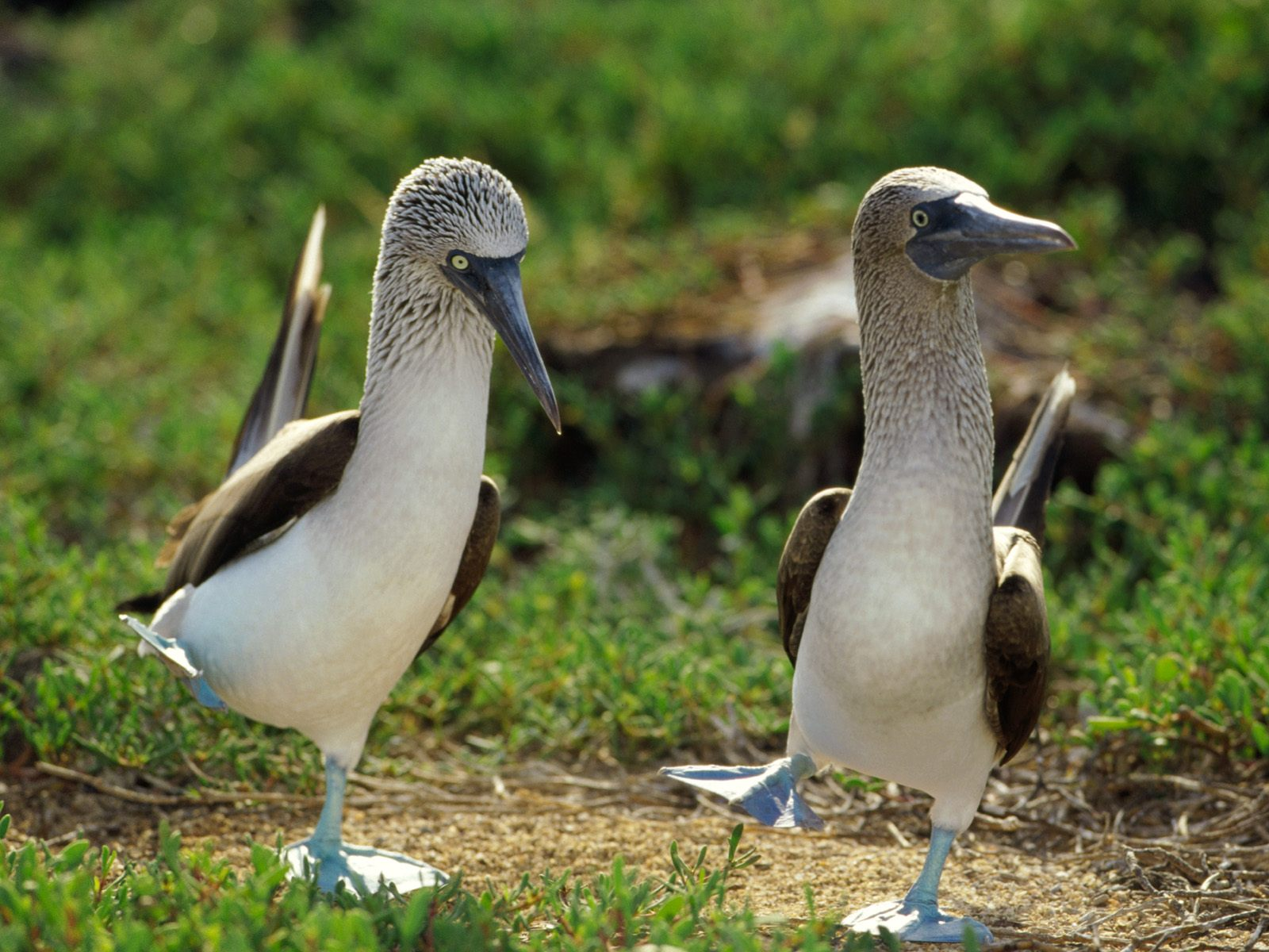 dancing-blue-footed-boobies-pictures